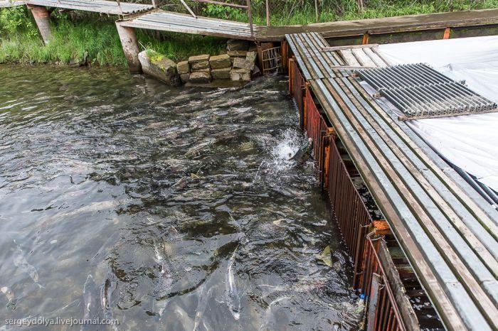 Рыбное производство на Камчатке (31 фото)