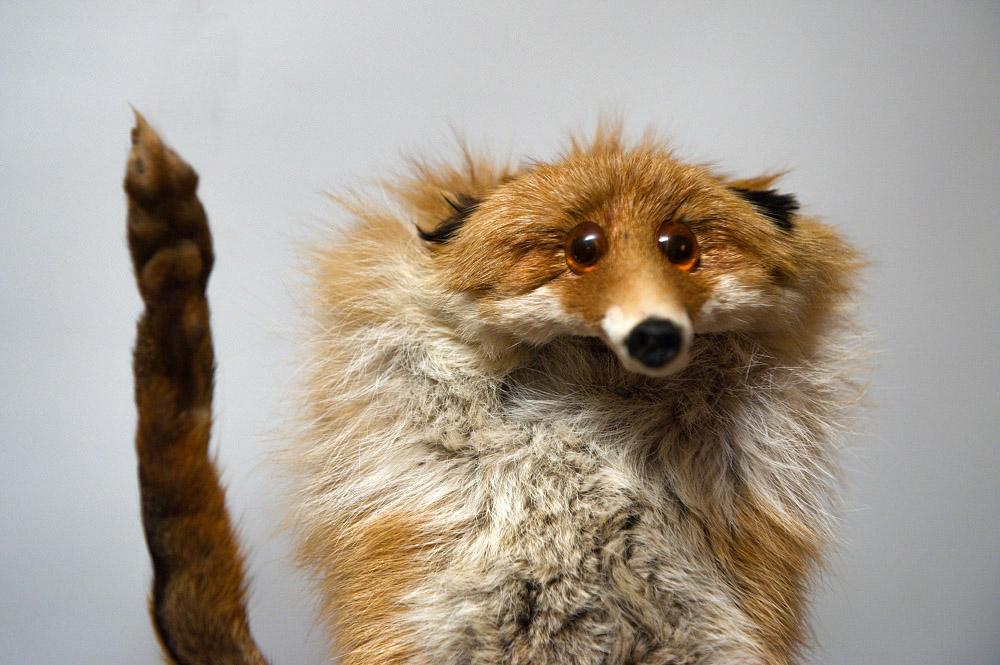 fox01 Привет защитникам животных – Лис