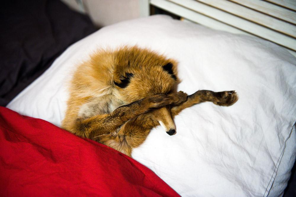 fox02 Привет защитникам животных – Лис