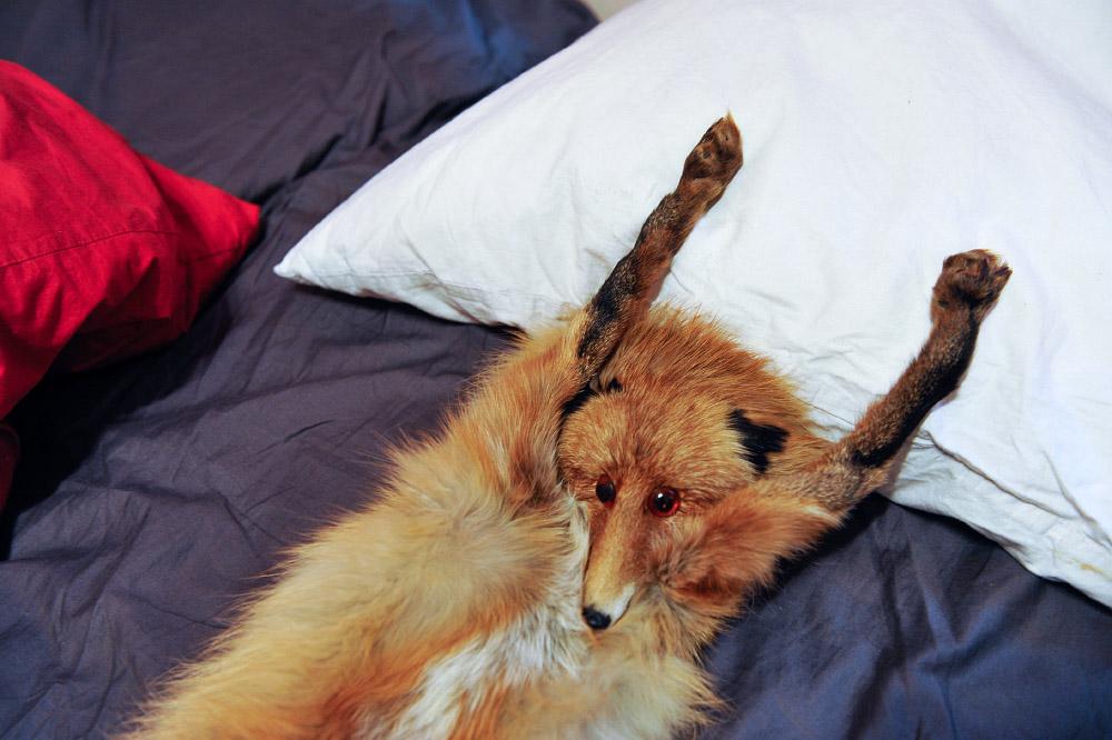 fox03 Привет защитникам животных – Лис