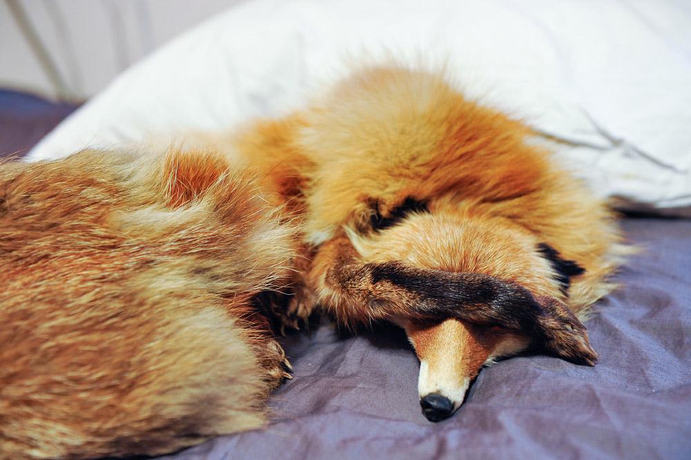 fox13 Привет защитникам животных – Лис