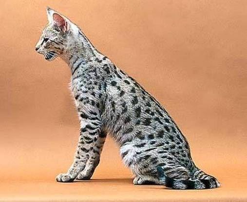 Топ-3 самых дорогих пород кошек