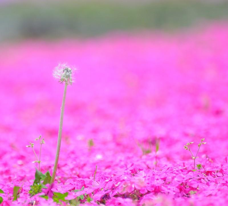 shibazakura03 Буйство красок травяной сакуры