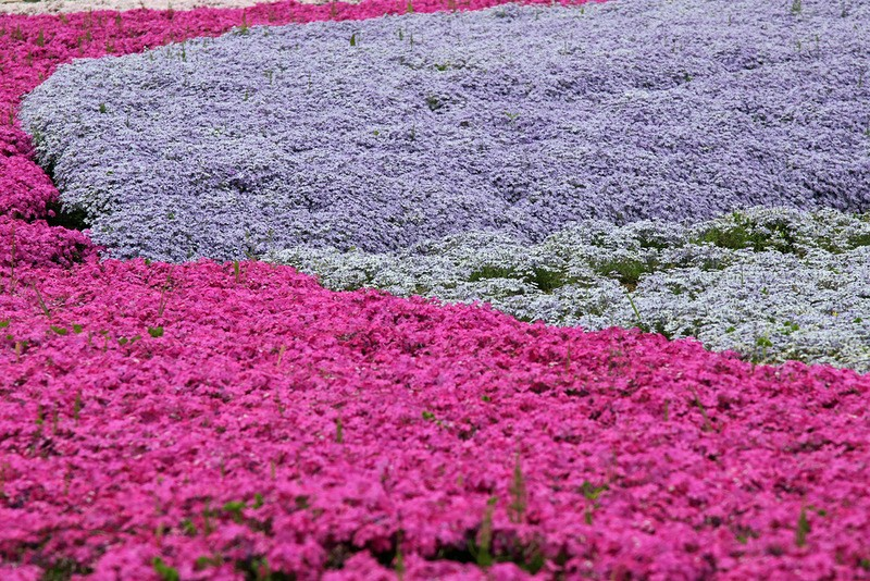 shibazakura04 Буйство красок травяной сакуры