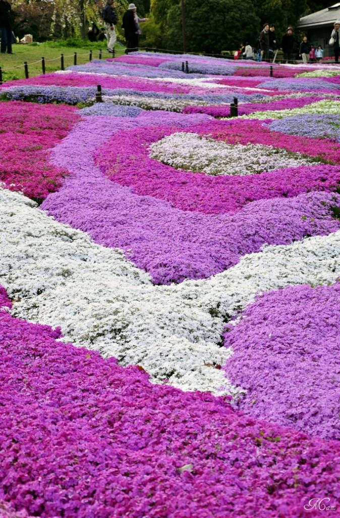 shibazakura07 Буйство красок травяной сакуры