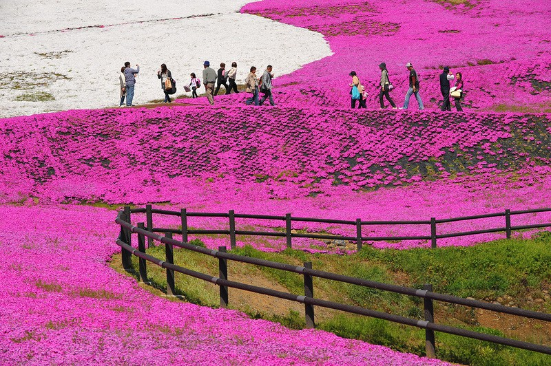 shibazakura08 Буйство красок травяной сакуры