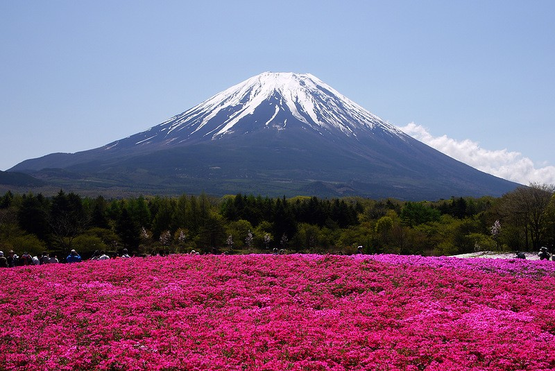 shibazakura11 Буйство красок травяной сакуры