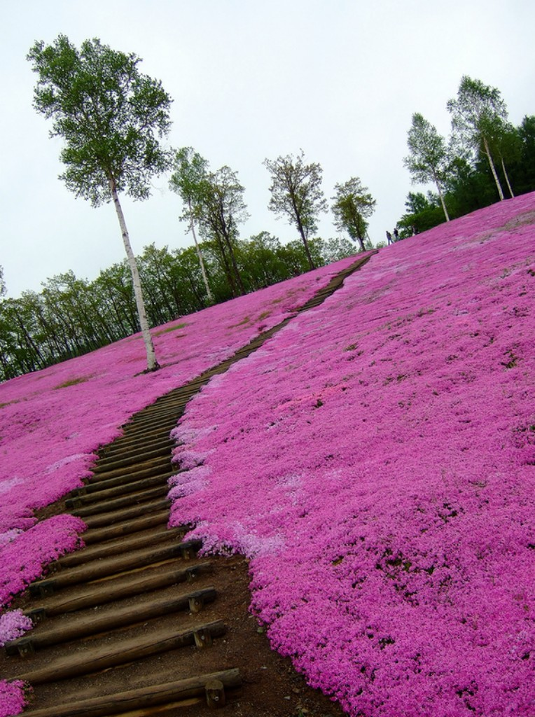 shibazakura13 Буйство красок травяной сакуры