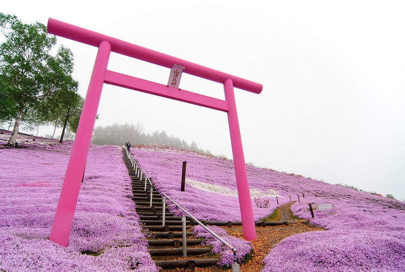 shibazakura16 Буйство красок травяной сакуры