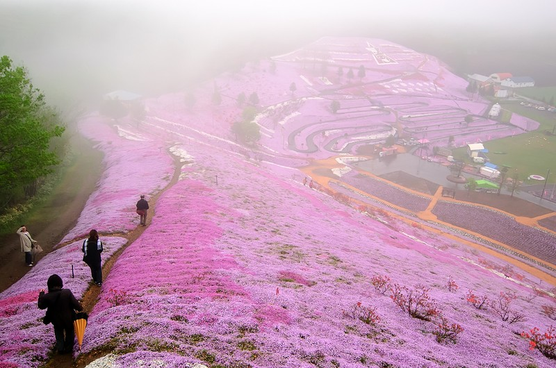 shibazakura17 Буйство красок травяной сакуры