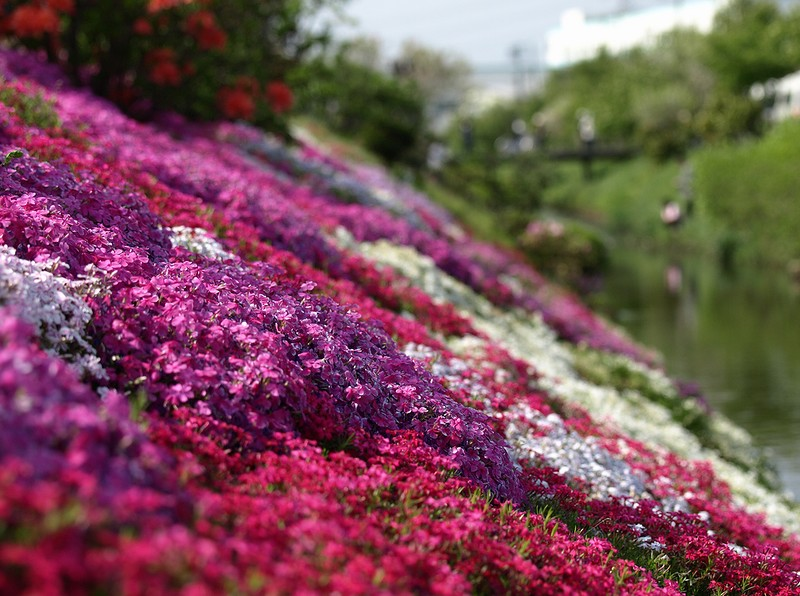 shibazakura18 Буйство красок травяной сакуры