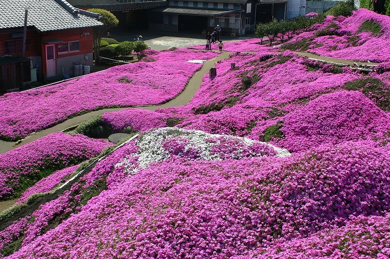 shibazakura19 Буйство красок травяной сакуры