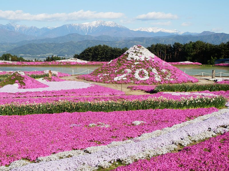 shibazakura23 Буйство красок травяной сакуры